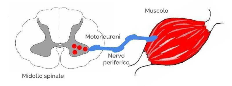 Atrofia muscolare spinale: motoneuroni
