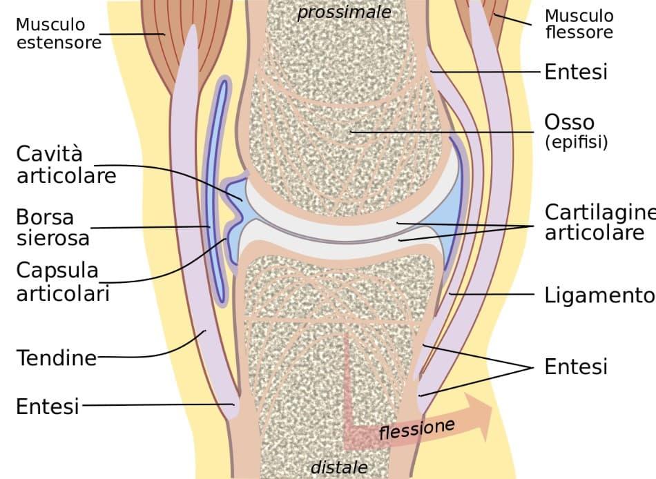 Struttura dell'articolazione