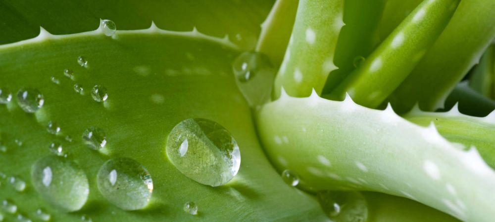 Aloe vera tutti i suoi benefici e qualche effetto collaterale