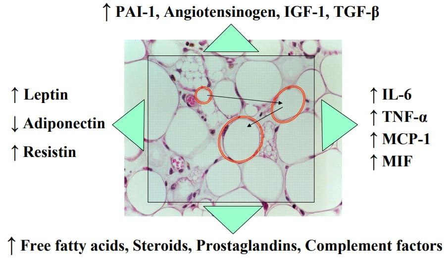 Adipochine prodotte dal tessuto adiposo addominale